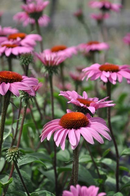 Echinacea 'Merlot'