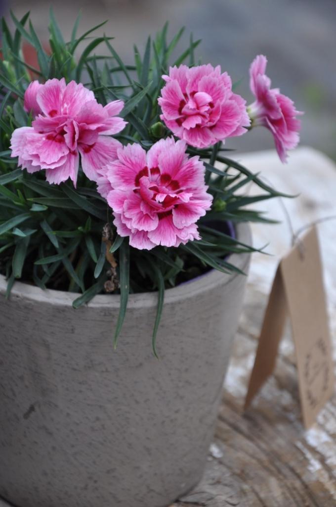 Dianthus cariophyllus serie Sunflor 'Esta'