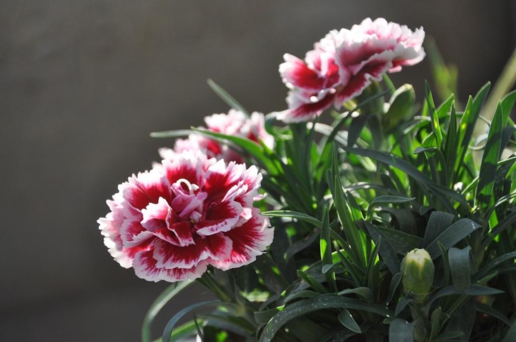 Dianthus cariophyllus serie Sunflor 'Red Esta'