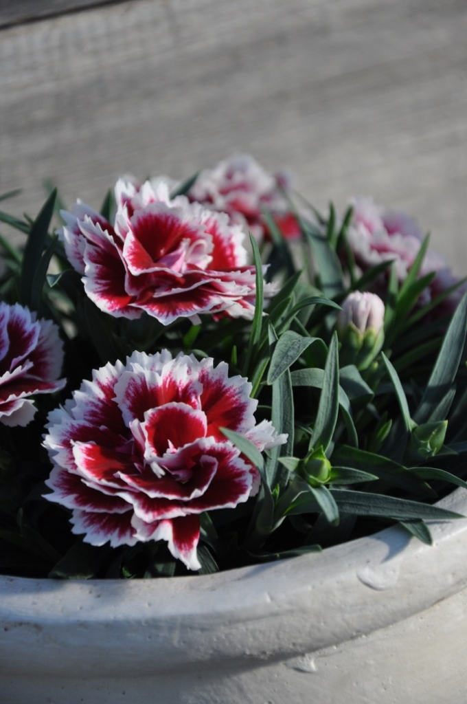 Dianthus cariophyllus serie Sunflor 'Sofia'