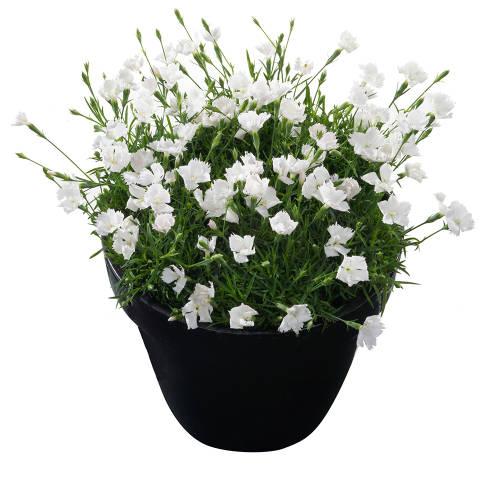 Dianthus x gratianopolitanus serie Beautes 'Gisele'