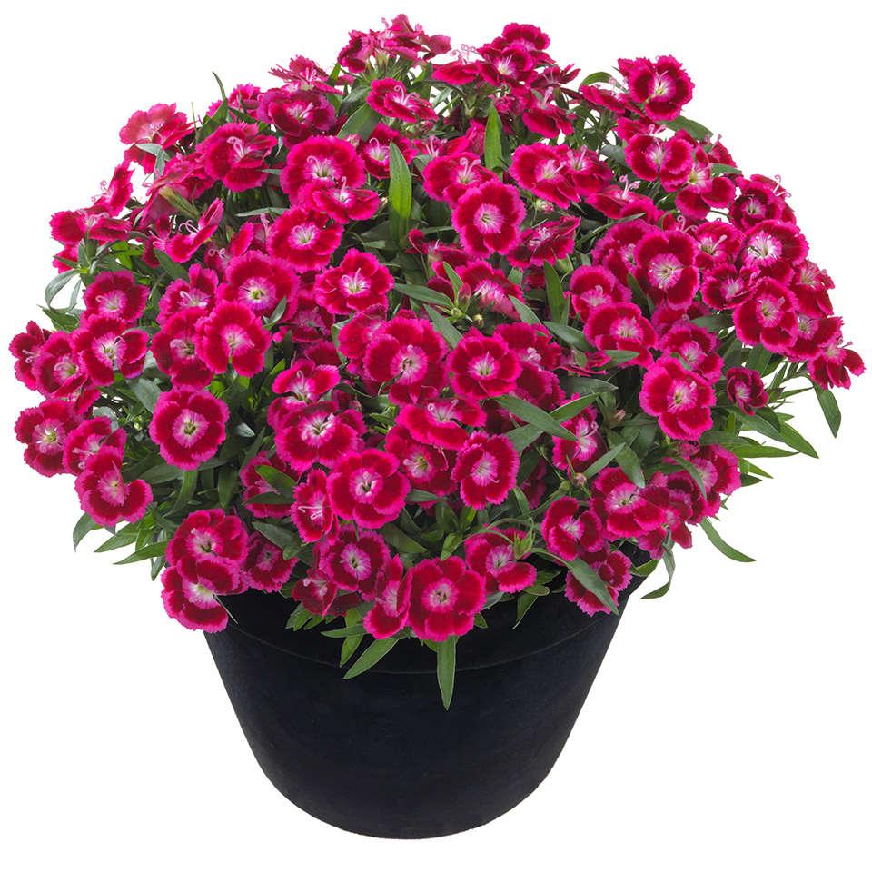 Dianthus x gratianopolitanus serie Beautes 'Olivia Cherry'