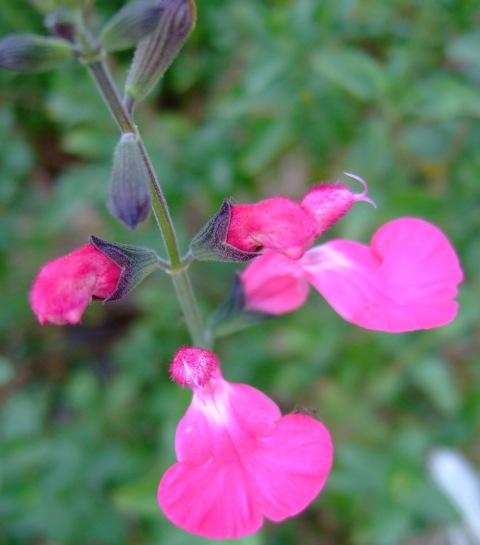 Salvia microphylla 'Elba'