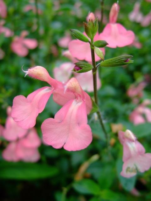 Salvia × jamensis 'Los Lirios'