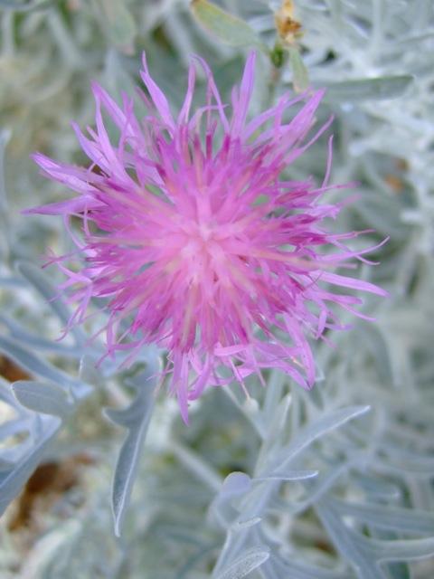 Centaurea pulcherrima