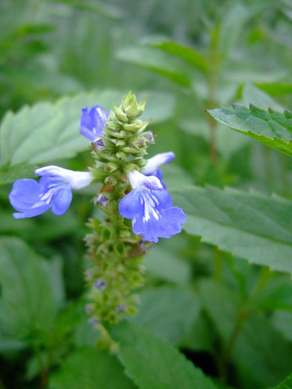 Salvia uliginosa'