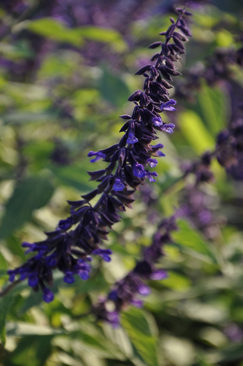 Salvia 'Anthony Parker'