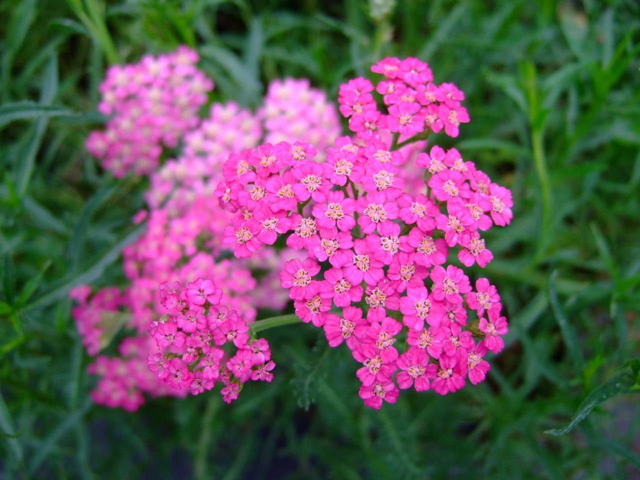 Fiori estivi perenni 28 images achillea millefolium summer wine fiori da giardino perenni - Fiori da giardino estivi ...