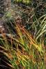 Panicum virgatum 'Rotstrahlbush'