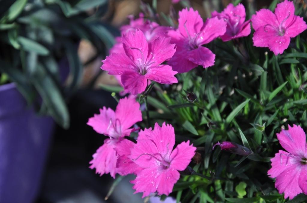 Dianthus 'Kahori'